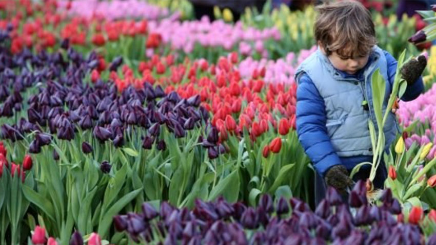 National Day of tulips in Holland