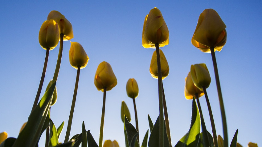 Bulbs in the garden and in the pot, free course