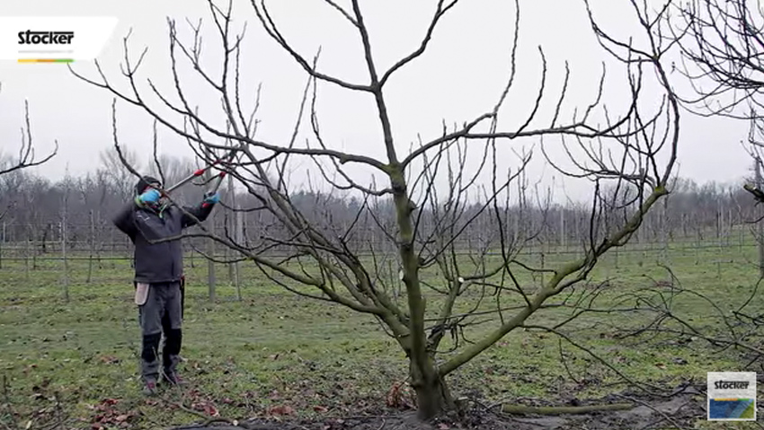 How to prune the fig, guide and advice
