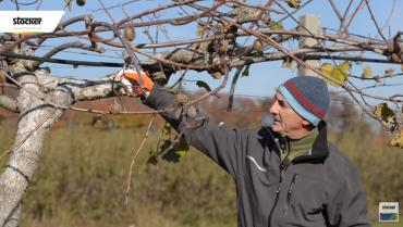 Kiwi pruning: common mistakes
