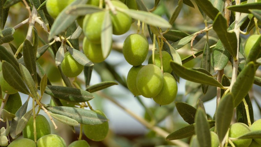 New olive pruning courses