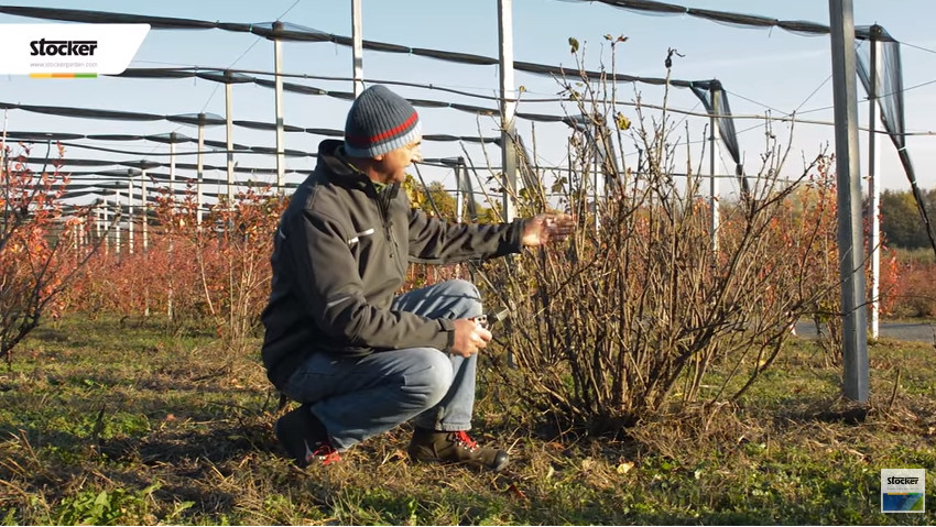 Guide to the pruning of small fruits