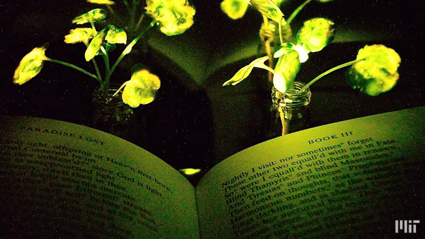 Plants that light up: the discovery of the Boston Mit