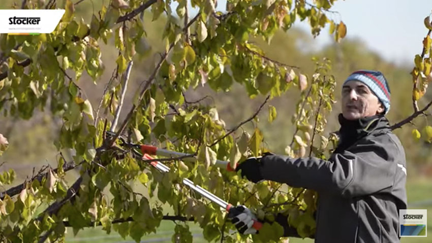 How to prune the apricot, advice from the expert