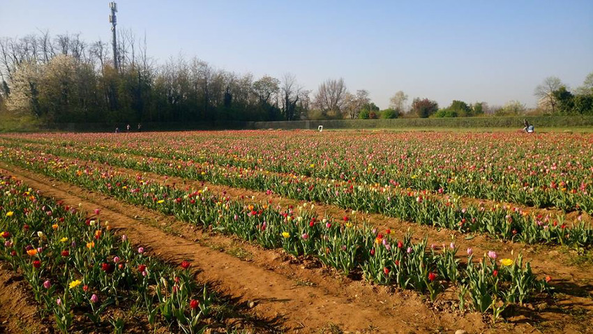 The tulips are returning to Milan