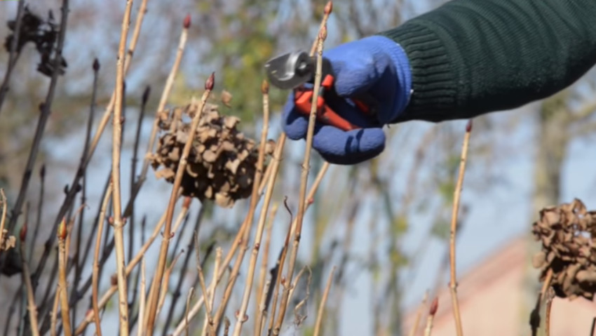 How to prune the hydrangea, the guide
