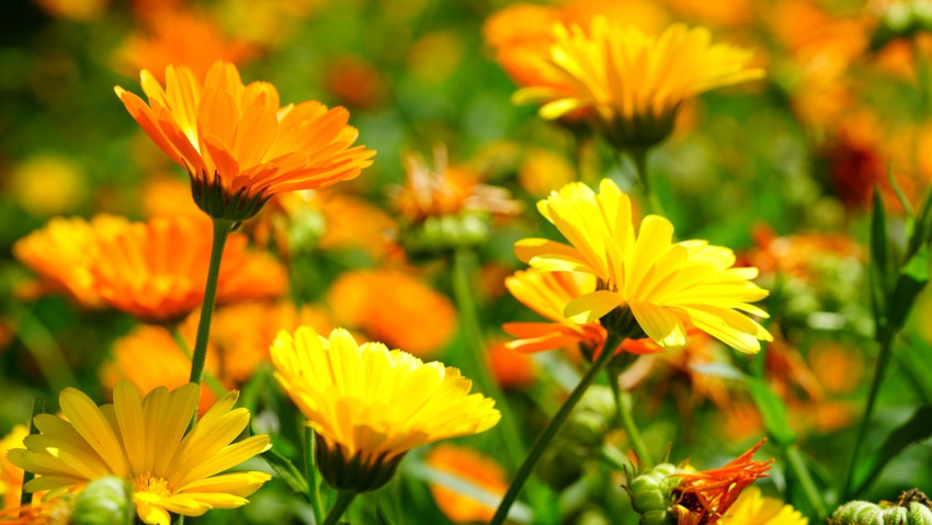 Plants that attract bees: how to grow marigold in the garden or in pots