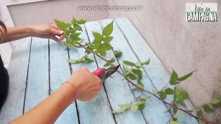 Propagating roses from cuttings, layering and layer