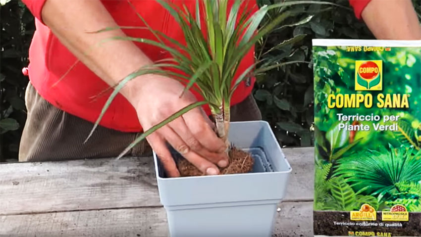 How to cultivate the Dracaena: the tips