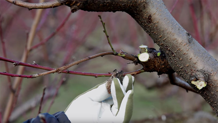 How to prune peach plant: the tutorial