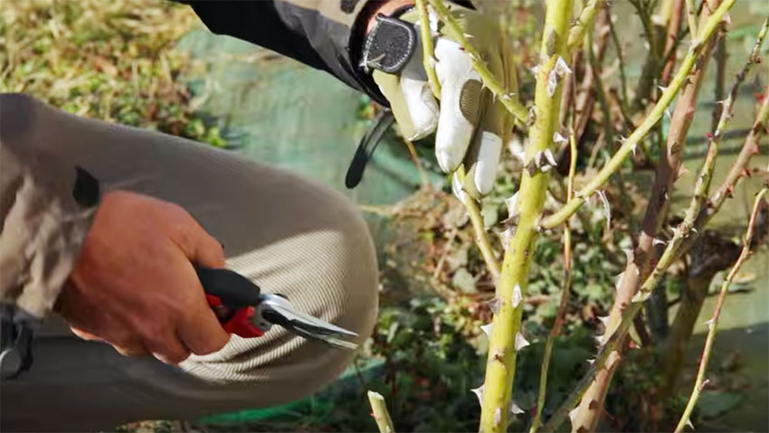 How to prune roses: the tutorial