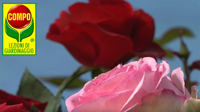 How to grow roses: the Compo tips
