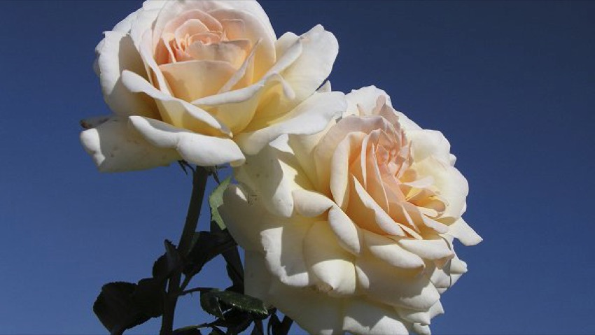 A new rose called Ilaria Alpi