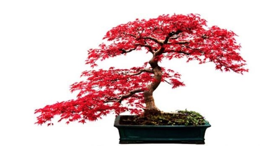 Bonsai, all the secrets for a perfect repotting