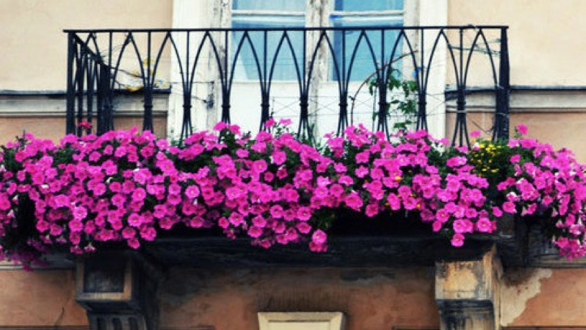 Balcony flowers: how to treat the best